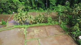 Luchtmening van padieveld Terrasvormig rijst en gebiedslandbouwbedrijf in de berg, vegeterian voedsel stock videobeelden
