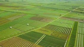 Luchtmening van rode ui landbouwgrond stock videobeelden
