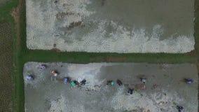 Luchtmening van Thaise landbouwer die jong padieveld op gecultiveerd gebied planten stock footage