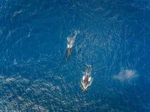 Luchtmening van twee Gebocheldewalvissen van de kust van Oahu Hawaï Royalty-vrije Stock Afbeelding