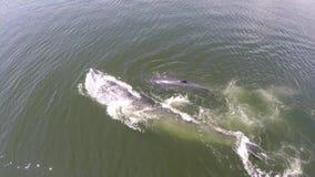 Luchtmening van Twee walvis, de walvis van de walvisbryde van Eden in golf Thailand stock videobeelden
