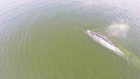 Luchtmening van walvis, de walvis van de walvisbryde van Eden in golf Thailand stock footage