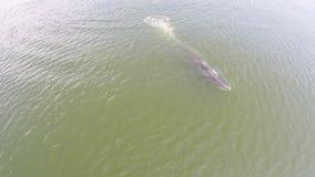 Luchtmening van walvis, de walvis van de walvisbryde van Eden in golf Thailand stock videobeelden