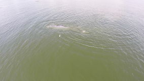 Luchtmening van walvis, de walvis van de walvisbryde van Eden in golf Thailand stock video
