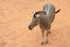 Luchtmening van zebra Royalty-vrije Stock Foto