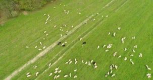 Luchtmotiemening over troep van schapen die op het gebied weiden stock videobeelden