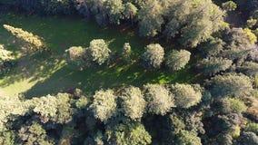 Luchtschot, die over de reuzesequoiaboom vliegen stock videobeelden