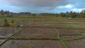 Luchtschot van een onlangs geplant groot padieveld r r stock video