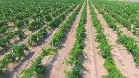 Luchtvlucht over de mooie rijen van de champaignewijngaard in de bergen stock videobeelden