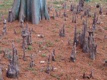 Luchtwortels van de kale cipres royalty-vrije stock foto