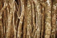 Luchtwortels van een tropische installatie Natuurlijke achtergrond Stock Foto's