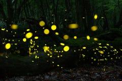 Luciérnagas en el bosque cerca de Burgas, Bulgaria Fotos de archivo libres de regalías