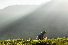 Luci di mattina alla piantagione di tè immagini stock