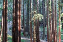 Luci di tramonto sugli alberi della sequoia Fotografia Stock Libera da Diritti