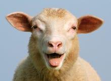 Luci le pecore Fotografie Stock
