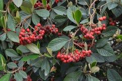 Luci naturali delle bacche selvatiche di colore rosso Immagini Stock