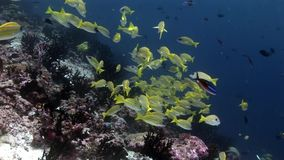 Lucian鱼学校在马尔代夫镶边了攫夺者水下的惊人的海底 股票录像
