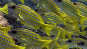 Lucian鱼学校在马尔代夫镶边了攫夺者水下的惊人的海底 影视素材