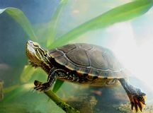 Lucian. A painted turtle swimming among aquatic plants Royalty Free Stock Photo