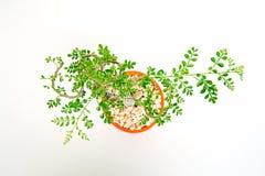 Lucida de Feroniella ou mini bonsais no potenciômetro cerâmico alaranjado em um fundo branco imagens de stock
