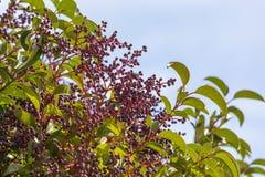 Lucidum Arboreal Aligustre Ligustrum Японии стоковая фотография rf