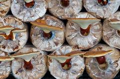 Lucidum de Ganoderma Foto de archivo