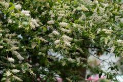 lucidum del flor-Ligustrum del ligustrum Fotografía de archivo libre de regalías