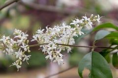 lucidum del flor-Ligustrum del ligustrum Foto de archivo libre de regalías