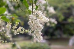 lucidum del flor-Ligustrum del ligustrum Imagenes de archivo