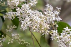 lucidum del flor-Ligustrum del ligustrum Fotos de archivo libres de regalías