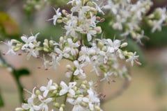 lucidum del flor-Ligustrum del ligustrum Imágenes de archivo libres de regalías