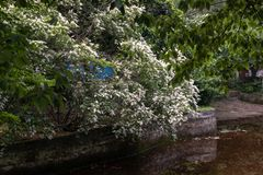 lucidum del flor-Ligustrum del ligustrum Foto de archivo
