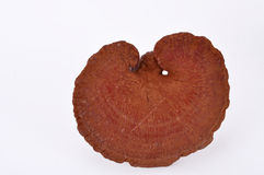 Lucidum di Ganoderma immagine stock libera da diritti