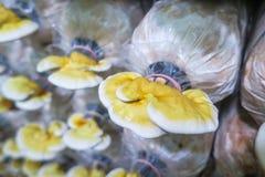 Lucidum Ganoderma, в ферме гриба Стоковые Фотографии RF
