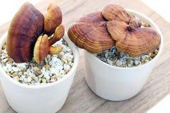 lucidum ganoderma Стоковые Изображения RF