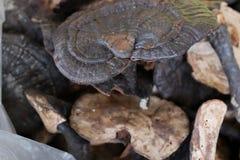 Lucidum ganoderma Lingzhi отрезанное грибом сухое Стоковое Изображение