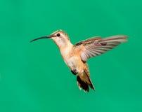 Lucifer hummingbird female. Stock Images
