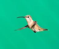 Lucifer hummingbird female. Royalty Free Stock Photo
