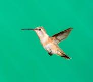 Lucifer hummingbird female. Stock Image