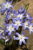 Lucilae de Chionodox Photo stock