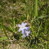 Lucile ` s荣耀这雪, chionodoxa luciliae,开花在春天,宏指令,浅DOF,选择聚焦 库存照片