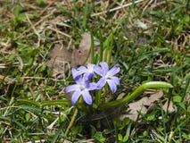 Lucile ` s荣耀这雪, chionodoxa luciliae,开花在春天,宏指令,浅DOF,选择聚焦 免版税库存图片