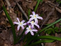 Lucile`s glory-of-the-snow, chionodoxa luciliae, blooming in spring, macro, selective focus, shallow DOF.  Stock Image