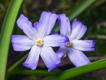 Lucile`s glory-of-the-snow, chionodoxa luciliae, blooming in spring, macro, selective focus, shallow DOF.  Royalty Free Stock Image