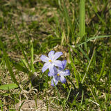 Lucile`s glory-of-the-snow, chionodoxa luciliae, blooming in spring, macro, shallow DOF, selective focus Stock Photos