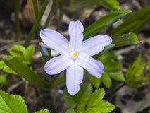 Lucile`s glory-of-the-snow, chionodoxa luciliae, blooming in spring, macro, shallow DOF, selective focus Stock Image