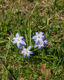 Lucile`s glory-of-the-snow, chionodoxa luciliae, blooming in spring, macro, shallow DOF, selective focus. Lucile`s glory-of-the-snow, chionodoxa luciliae Stock Image