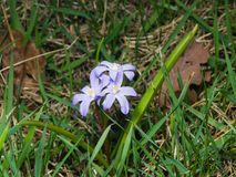 Lucile`s glory-of-the-snow, chionodoxa luciliae, blooming in spring, macro, shallow DOF, selective focus. Lucile`s glory-of-the-snow, chionodoxa luciliae Royalty Free Stock Photo