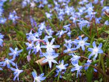 Lucile`s squill, berlin-dahlem botanical garden royalty free stock photo