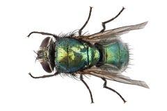 Lucilia César de la especie de la mosca de soplo Fotos de archivo